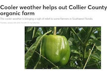 Cooler weather helps out Collier County organic farm
