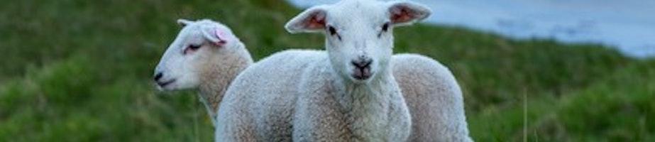 Lamb Shop Category